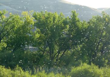 Image result for cottonwood fluff